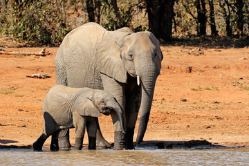African elephant (Loxodonta africana) cow and calf at a waterhole, Kruger National Park, South Africa.