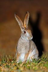 An alert scrub hare (Lepus saxatilis) sitting upright, South Africa