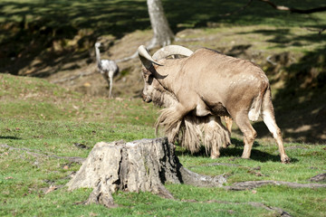 Male sheep at the pasture