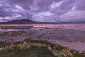 Flamingos on the Colorado lagoon, Altiplano, Bolivia