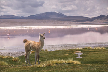 Llama at the Colorada lagoon, Altiplano, Bolivia