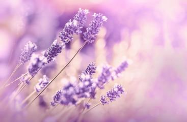 Soft focus on lavender flower, beautiful lavender in flower garden