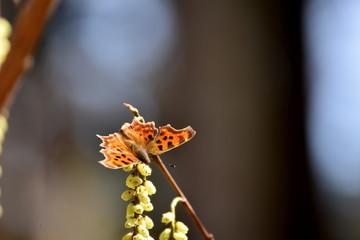 キブシの蜜を吸うシータテハ