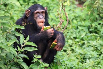 Chimpanzee - Uganda Wall mural