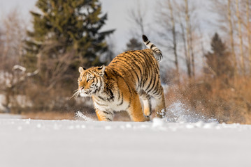 Tiger runs behind the prey. Hunt the prey in tajga in cold winter. Tiger in wild winter nature. Action wildlife scene, danger animal.