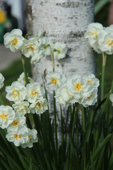Papiers peints Narcisse Narcisses et bouleaux blancs