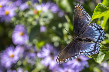 red-spotted purple admiral butterfly and blue aster flowers