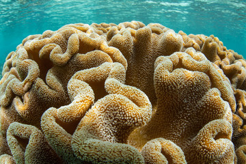 Soft Leather Coral Growing in Raja Ampat
