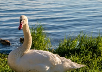 Mute swan female is observing her youngs  at a lake in Germany  during a summer evening