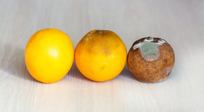 Three oranges in the drying out stage. A fresh orange, an orange that begins to deteriorate, and spoiled rotten with mold. Overdue fruit.