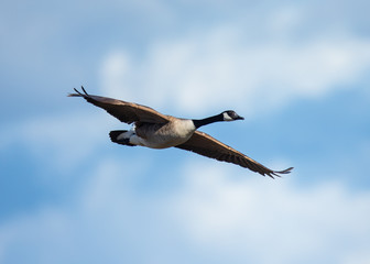 Close view of a Canada goose, seen flying against clouds