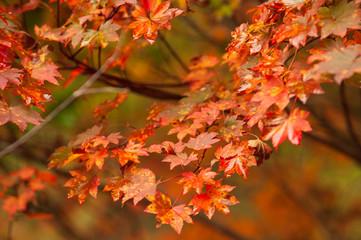 雨に濡れる紅葉のアップ