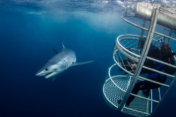 A Short Fin Mako Shark passing closely by a videographer