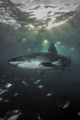 A Great White Shark at dusk with sun beams