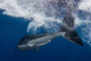 Tuinposter Vissen A Great White Shark thrashing its tail