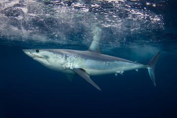 A short fin mako shark