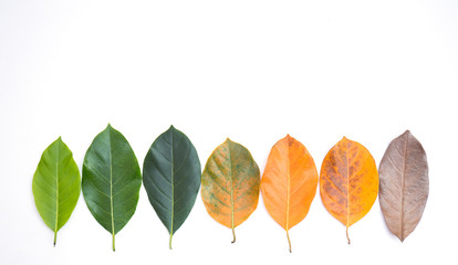 Wall Mural - Closeup jackfruit leaves in different color and age . Line of colorful leaves in spring autumn season. Environment changed concept. Top view or flat lay background and banner.