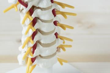 Human cervical spine model