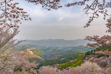 奈良県・吉野山の桜・早朝