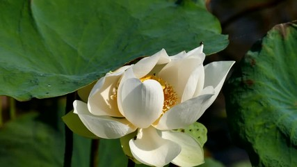 Search photos white lotus flower royalty high quality free stock image of a pink lotus flower the background is the pink lotus flowers and yellow lotus bud in a pond viet nam peace scene mightylinksfo