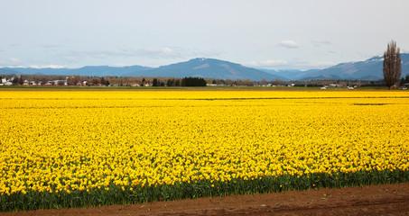 Daffodil Fields in Skagit Valley