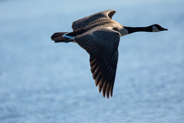 Close view of a Canada goose, seen flying over a North California marsh