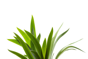 fresh green grass big leaves abstract backdrop isolated on white background