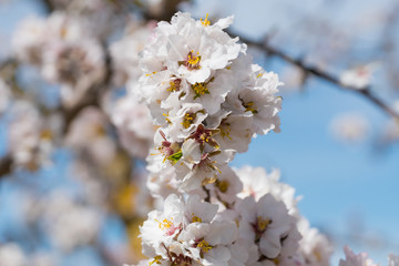 Rama con flores de almendro