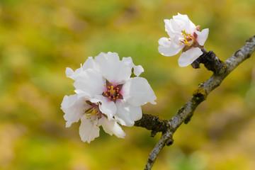 Flores de árbol de almedro en primavera