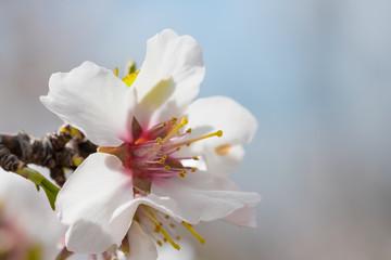 Flor de árbol de almendro