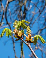 Blüte der Kastanie im Frühling