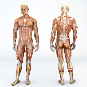 Vista frontale e di spalle di una persona ed i suoi muscoli con i trigger points evidenziati. Anatomia e corpo umano. Zone di muscolatura o fascia dense e dolorose alla palpazione