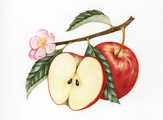 Illustration of red apple