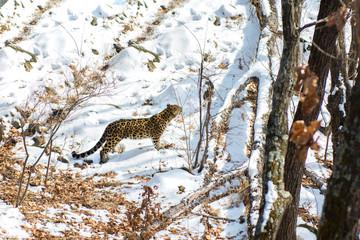seaside Leopard, aggressive animal walks on snowy ground, big beautiful striped Leopard.