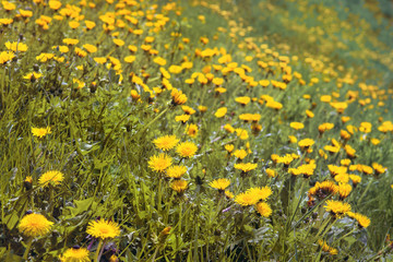 field of yellow dandelions, background picture of beautiful spring flowers