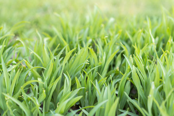 Grass background. Green grass texture