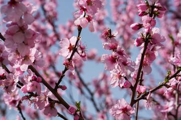 Single almond tree blossoms
