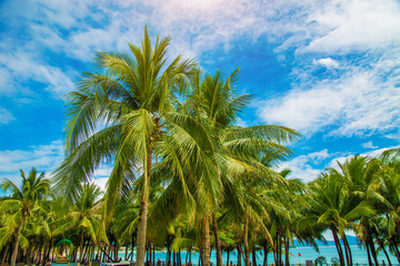 many beautiful high Palm trees grow near, aleya palms, tropical island and beautiful trees grow to the sky. Asia