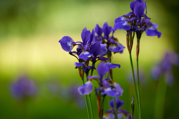 Northern blue flag iris blooming