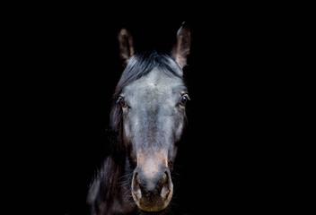 Schöne Pferdeportait auf schwarzem Bildhintergrund.