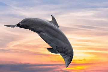common dolphin jumping outside the ocean in the sunset