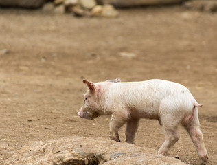 Pig on a dirt floor photograph