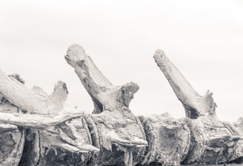 Detail of a skeleton of a whale photograph