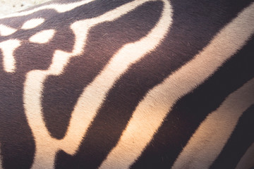 Close up photograph of a zebra skin