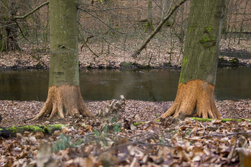 Eaten trunks of two trees at a stream in autumn
