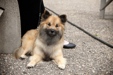 Purebred Icelandic Sheepdog Puppy