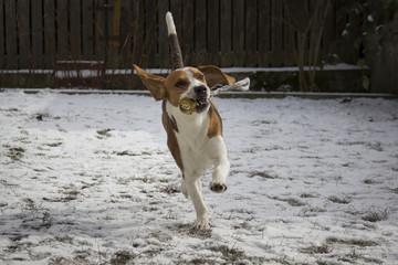 Dog retrieves a ball in the snow