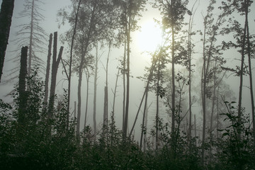 misty forest in fog background, silhouettes of trees