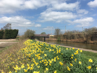 Daffodils next to Trent and Mersey Canal in Cheshire England UK