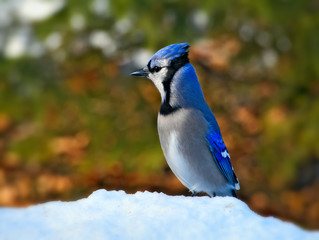 Beautiful bluejay bird - corvidae cyanocitta cristata - standing on white snow